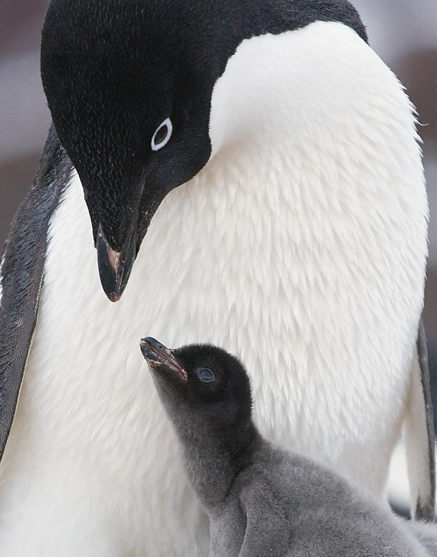 Penguin and Chick